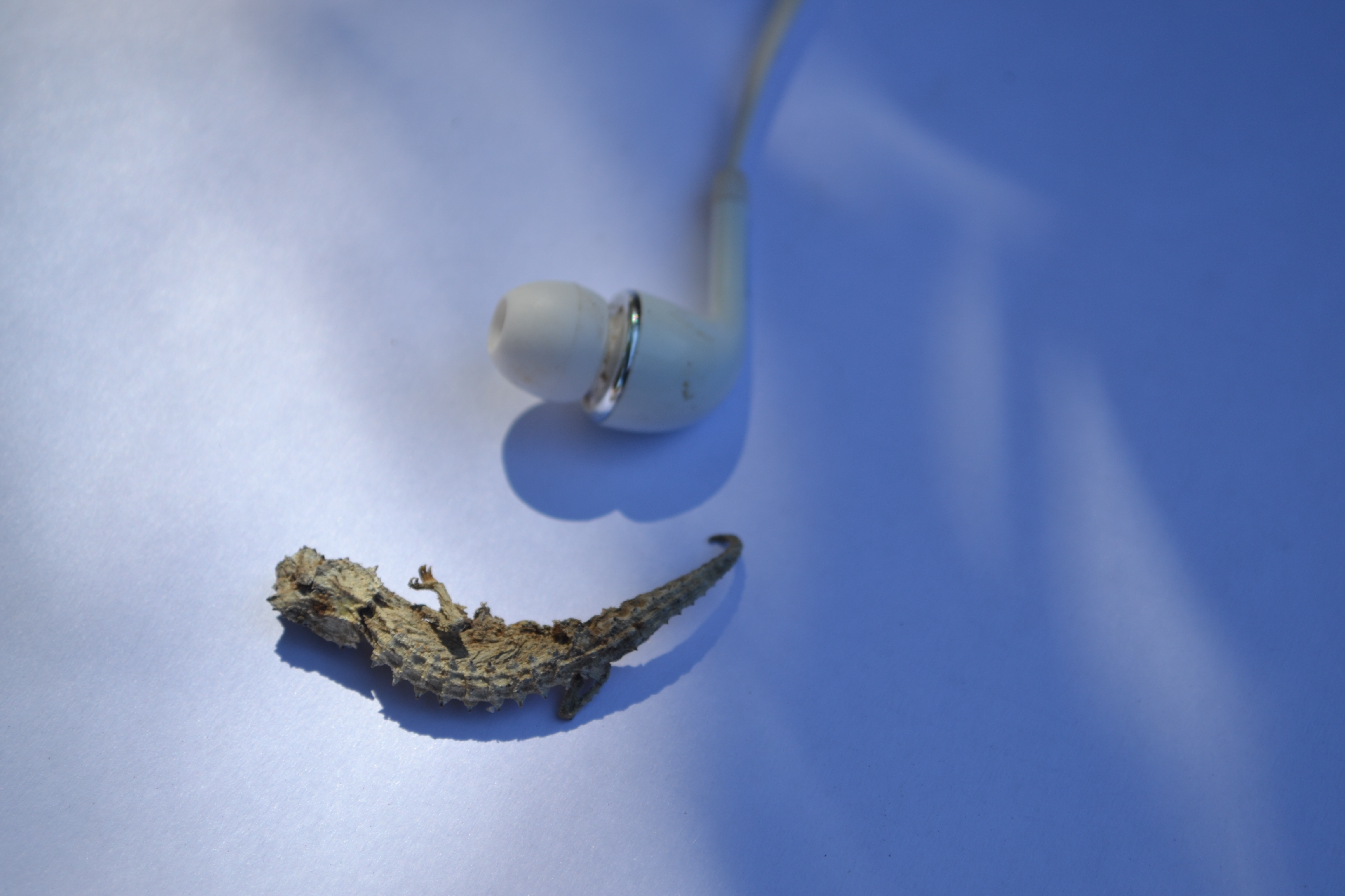 My chance encounter with the smallest chameleon in the world: earbud for scale.
