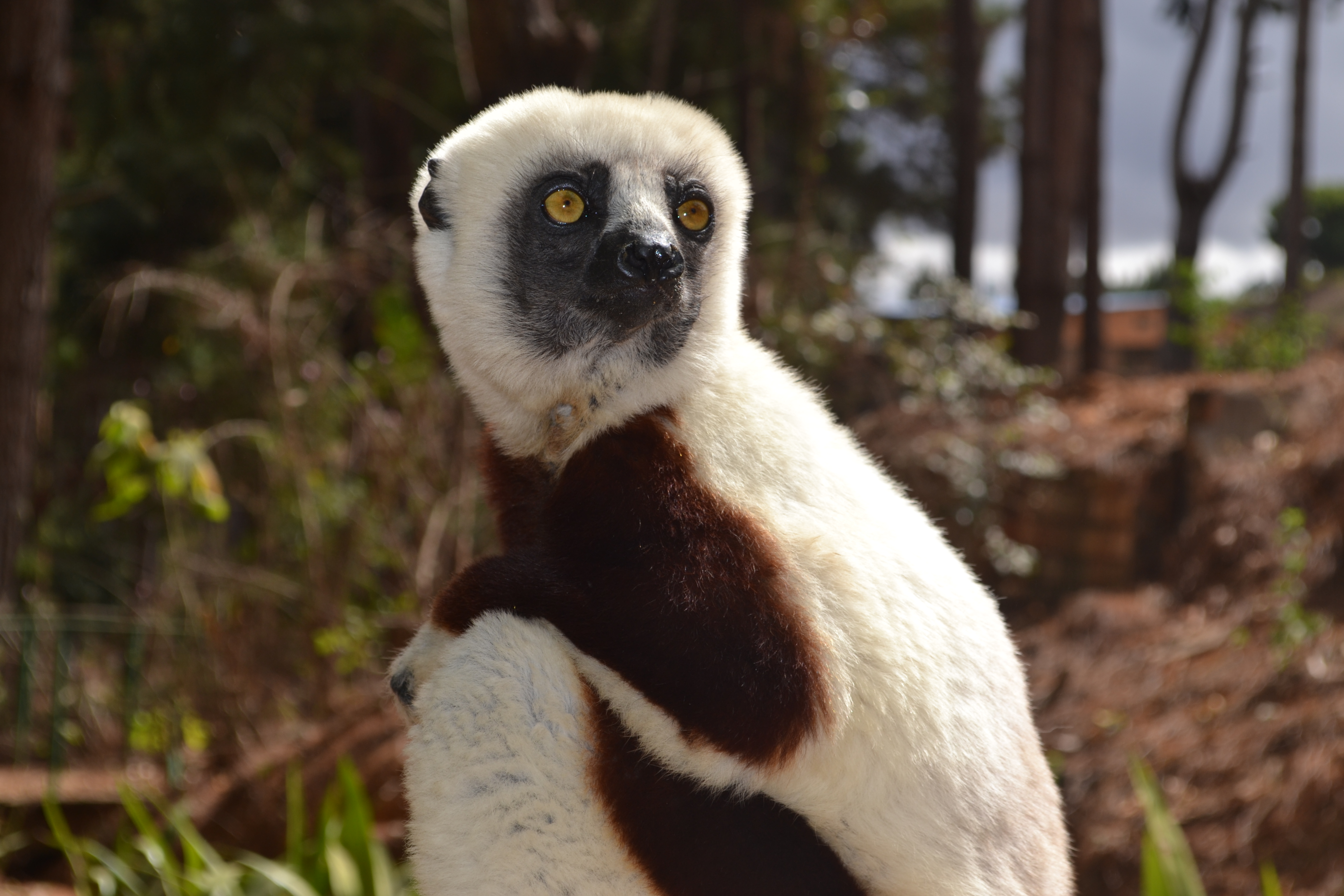 The beautiful Coquerel's sifaka. I was lucky enough to be situated just a couple of feet from them on some days.