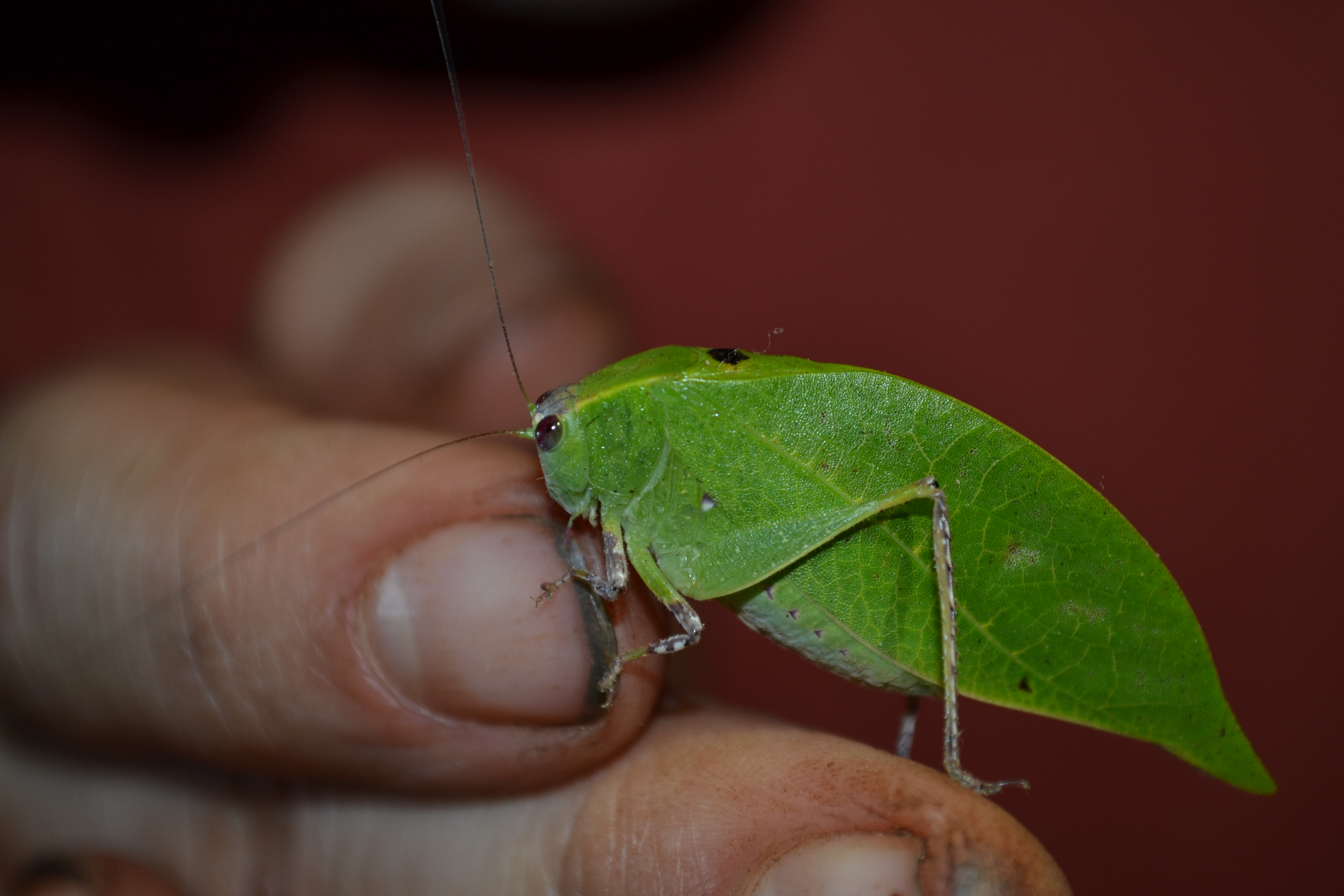 A very cool little bug we found fluttering on the dinner table one night.